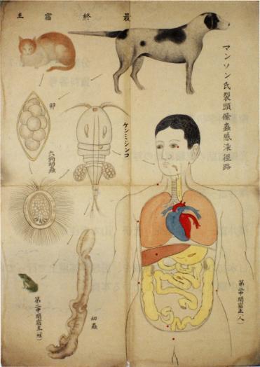 教育用絵画(寄生虫学)(マンソン住血吸虫)